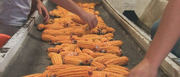 The extra work is done to make high quality seed corn.