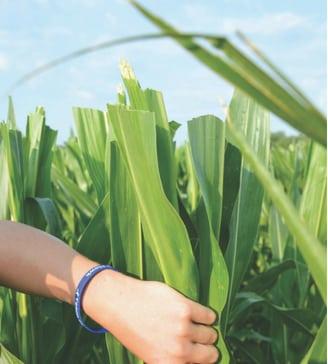 corn-detassling