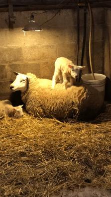 texel-ewe-and-lambs