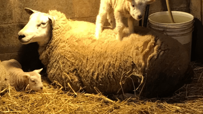texel-ewe-and-lambs