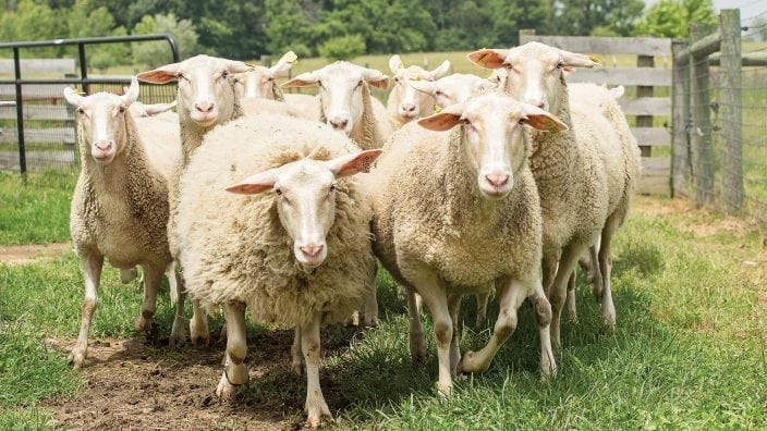 East Friesian/Lacaune dairy sheep.