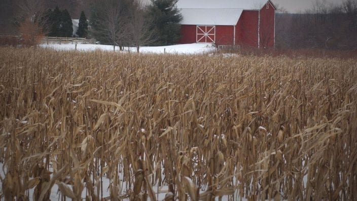 Corn in Snow