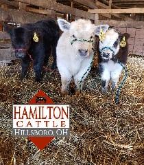 Hamilton Cattle