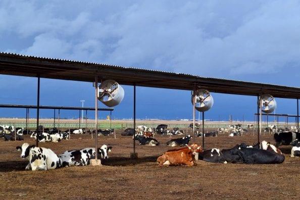 tallmadge_cow