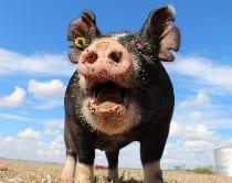 pig in field