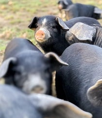 Covey Rise Farms pigs