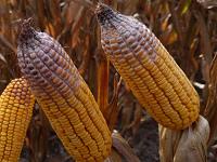 Vomitoxin corn